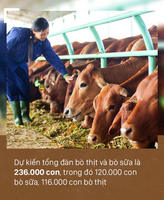 [PHOTO STORY]: Số phận đàn bò nghìn tỷ của bầu Đức - Ảnh 3.