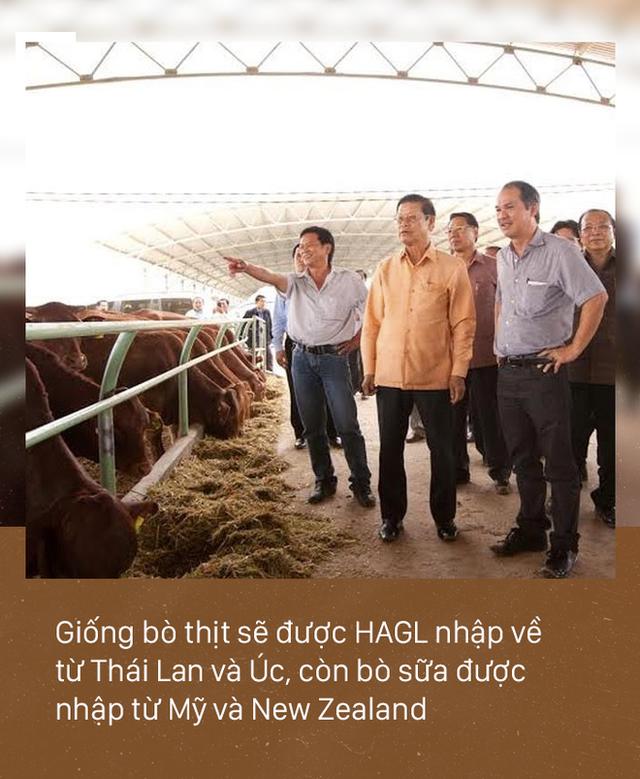 [PHOTO STORY]: Số phận đàn bò nghìn tỷ của bầu Đức - Ảnh 4.