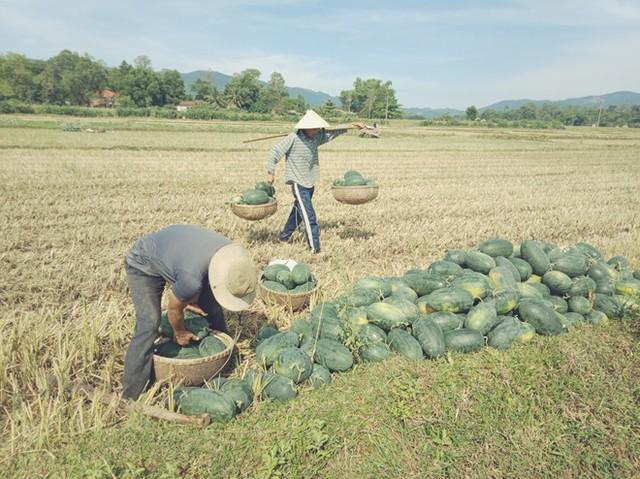 Người nông dân Quảng Nam, Quảng Ngãi lại khóc ròng vì giá dưa lao dốc  - Ảnh 1.