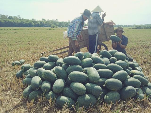 Người nông dân Quảng Nam, Quảng Ngãi lại khóc ròng vì giá dưa lao dốc  - Ảnh 2.