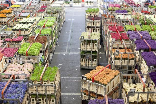 Cách quốc gia có diện tích chỉ bằng 1/8 Việt Nam chi phối ngành hoa 100 tỷ USD thế giới: Đầu tư công nghệ, giao dịch hoa như cổ phiếu - Ảnh 3.