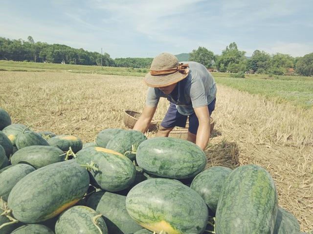 Người nông dân Quảng Nam, Quảng Ngãi lại khóc ròng vì giá dưa lao dốc  - Ảnh 3.