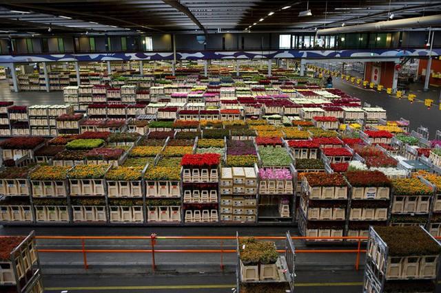 Cách quốc gia có diện tích chỉ bằng 1/8 Việt Nam chi phối ngành hoa 100 tỷ USD thế giới: Đầu tư công nghệ, giao dịch hoa như cổ phiếu - Ảnh 4.