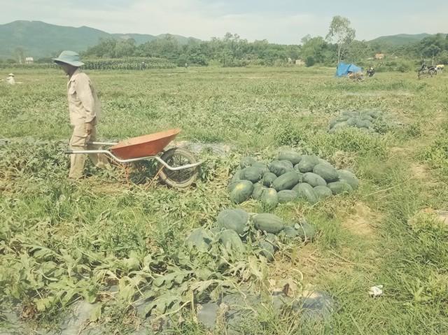 Người nông dân Quảng Nam, Quảng Ngãi lại khóc ròng vì giá dưa lao dốc  - Ảnh 4.