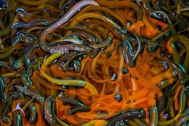 Lươn non Tây Ban Nha xấu xí, nhạt nhẽo nhưng có giá nghìn Euro - Ảnh 7.