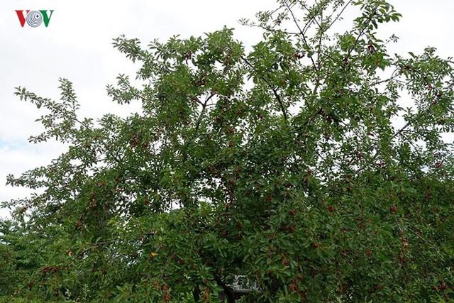 Trái cây ngoại siêu đắt tại Việt Nam là cây dại ở nước ngoài? - Ảnh 2.