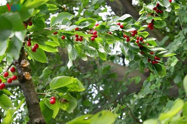 Trái cây ngoại siêu đắt tại Việt Nam là cây dại ở nước ngoài? - Ảnh 4.