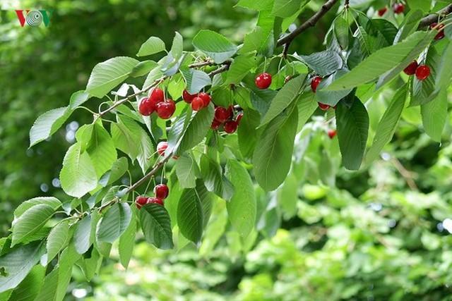 Trái cây ngoại siêu đắt tại Việt Nam là cây dại ở nước ngoài? - Ảnh 6.