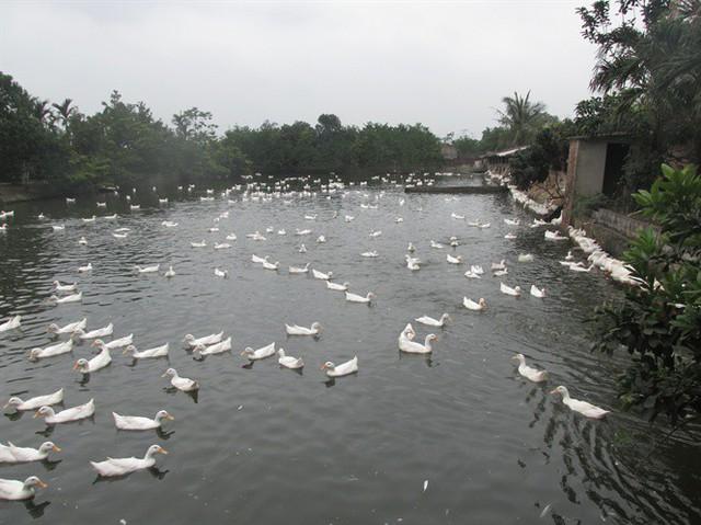 Thường xuyên nuôi 8.000 vịt sinh sản, bỏ túi 8 triệu đồng/ngày - Ảnh 2.
