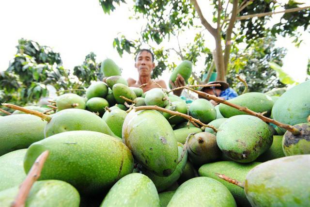 Nở rộ phong trào trồng xoài Đài Loan ở ĐBSCL, thu 500 triệu đồng/ha, năm - Ảnh 1.
