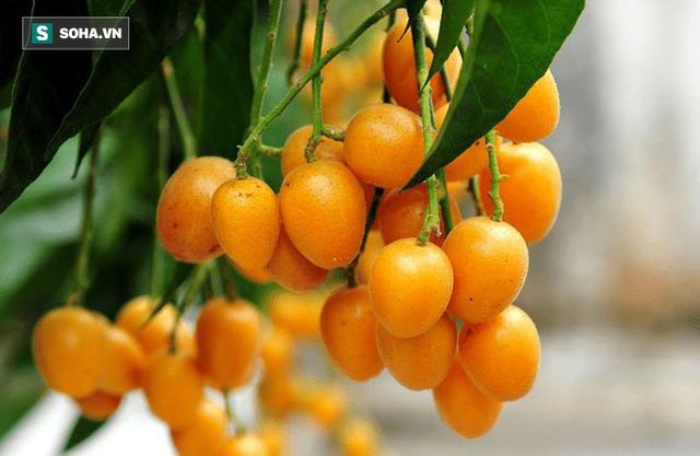 Quất hồng bì: Vua trái cây mùa hè được săn lùng vì sở hữu những chất dinh dưỡng hiếm có - Ảnh 1.