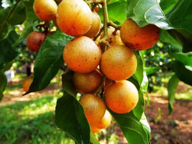 Quất hồng bì: Vua trái cây mùa hè được săn lùng vì sở hữu những chất dinh dưỡng hiếm có - Ảnh 3.