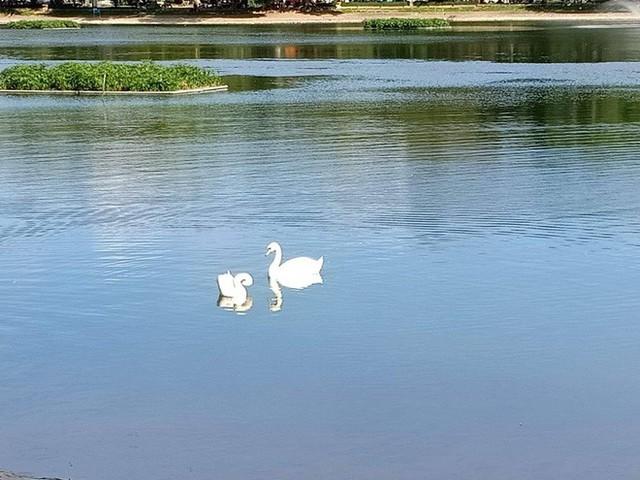 Đàn thiên nga ở hồ Thiền Quang vật lộn với trời nắng nóng 40 độ C ra sao? - Ảnh 4.