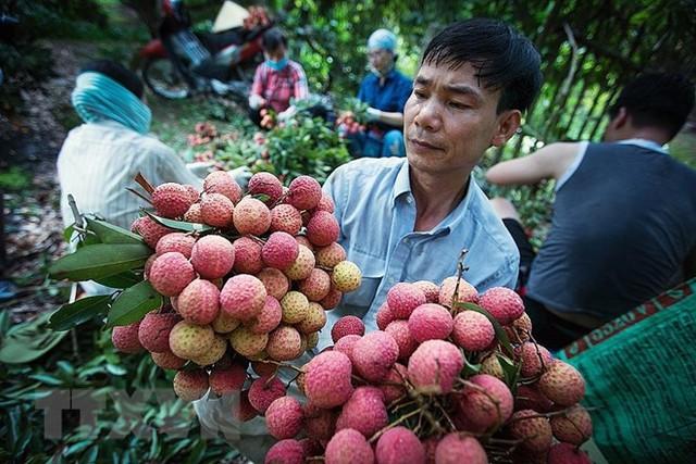 Hình ảnh vải thiều Lục Ngạn chín đỏ trong mùa thu hoạch - Ảnh 12.