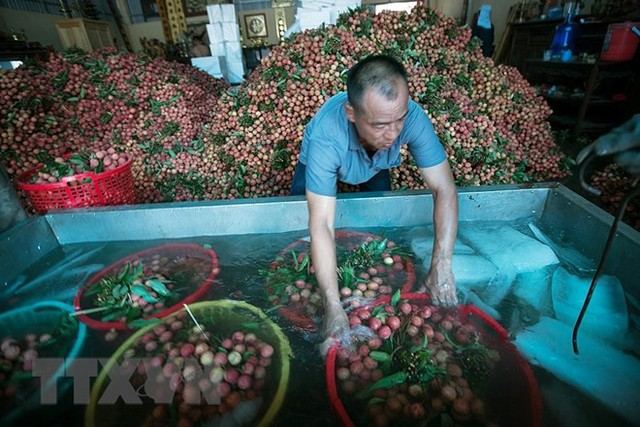 Hình ảnh vải thiều Lục Ngạn chín đỏ trong mùa thu hoạch - Ảnh 15.
