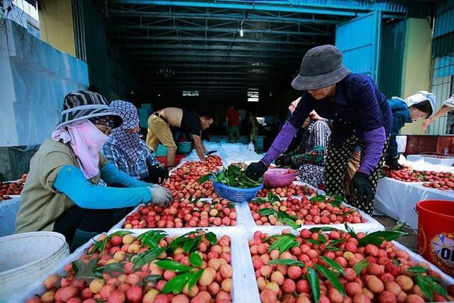 Hình ảnh vải thiều Lục Ngạn chín đỏ trong mùa thu hoạch - Ảnh 16.