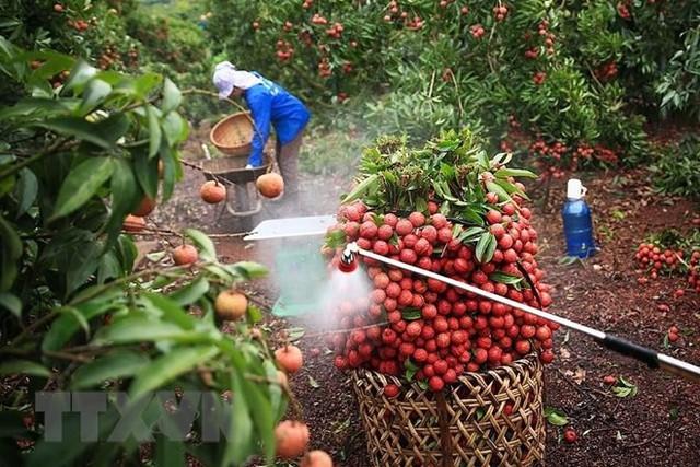 Hình ảnh vải thiều Lục Ngạn chín đỏ trong mùa thu hoạch - Ảnh 3.