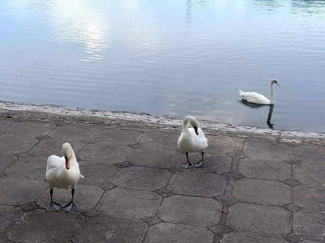 Đàn thiên nga ở hồ Thiền Quang vật lộn với trời nắng nóng 40 độ C ra sao? - Ảnh 5.