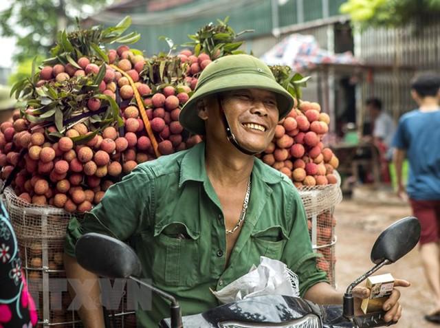 Hình ảnh vải thiều Lục Ngạn chín đỏ trong mùa thu hoạch - Ảnh 4.