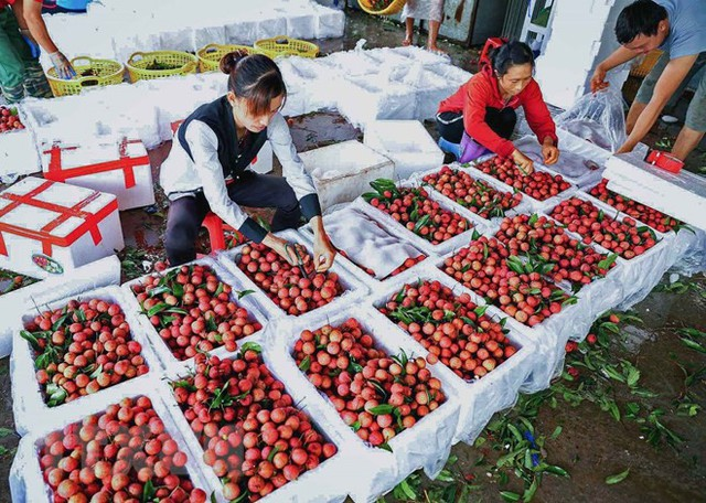 Hình ảnh vải thiều Lục Ngạn chín đỏ trong mùa thu hoạch - Ảnh 8.