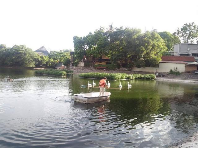 Đàn thiên nga ở hồ Thiền Quang vật lộn với trời nắng nóng 40 độ C ra sao? - Ảnh 9.