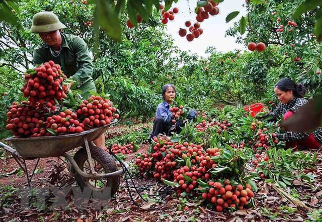 Hình ảnh vải thiều Lục Ngạn chín đỏ trong mùa thu hoạch - Ảnh 10.
