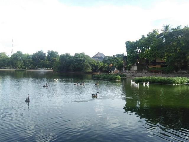Đàn thiên nga ở hồ Thiền Quang vật lộn với trời nắng nóng 40 độ C ra sao? - Ảnh 11.