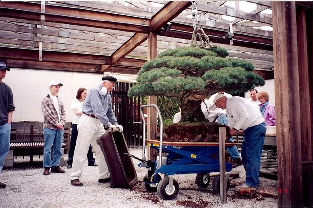 Câu chuyện của cây bonsai Nhật Bản 400 tuổi vẫn sống sót sau khi bom nguyên tử thả xuống Hiroshima - Ảnh 7.