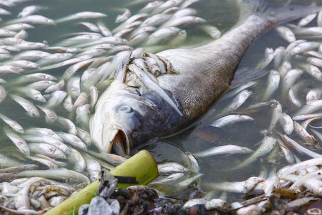 Cá Hồ Tây chết hàng loạt, mùi hôi nồng nặc  - Ảnh 3.