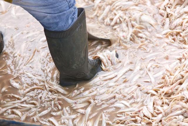 Cá Hồ Tây chết hàng loạt, mùi hôi nồng nặc  - Ảnh 8.