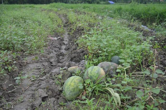 Đà Nẵng: 600 tấn dưa hấu hư hại do ngập úng - Ảnh 1.