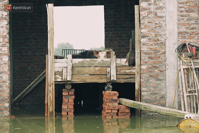 Những ngày lênh đênh ở Chương Mỹ: Trâu bò lặn ngụp, vịt trèo lên những mái nhà khi nước dâng đến tận nóc - Ảnh 15.