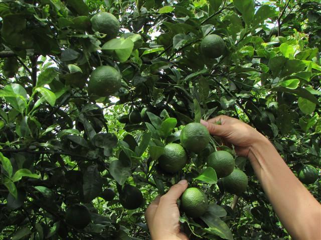 Mùa chanh đắng của nông dân Con Cuông, Nghệ An - Ảnh 2.
