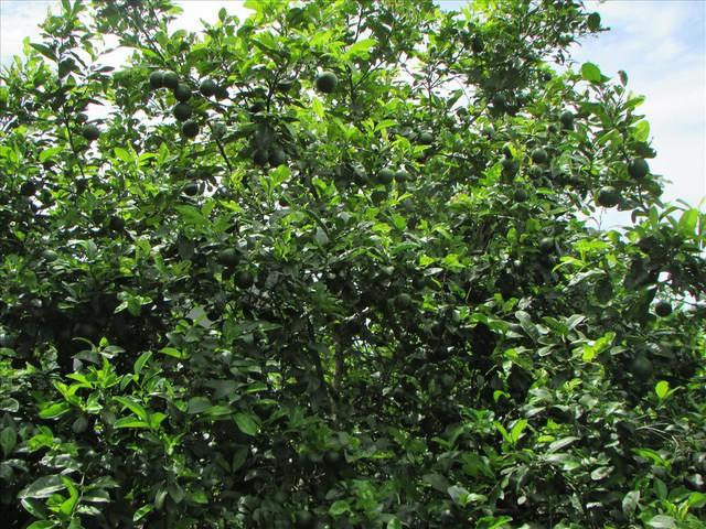 Mùa chanh đắng của nông dân Con Cuông, Nghệ An - Ảnh 3.
