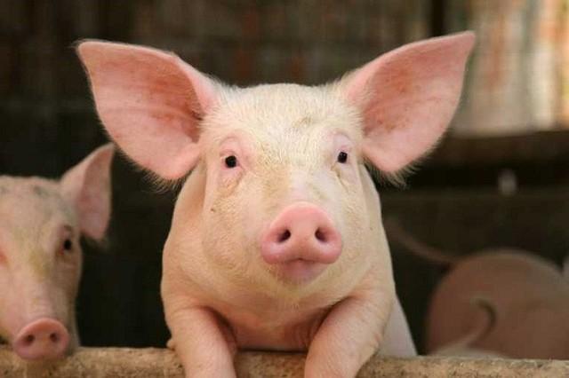 Dabaco lãi đột biến gần 55 tỷ đồng trong tháng 7 nhờ giá lợn hơi tăng - Ảnh 1.