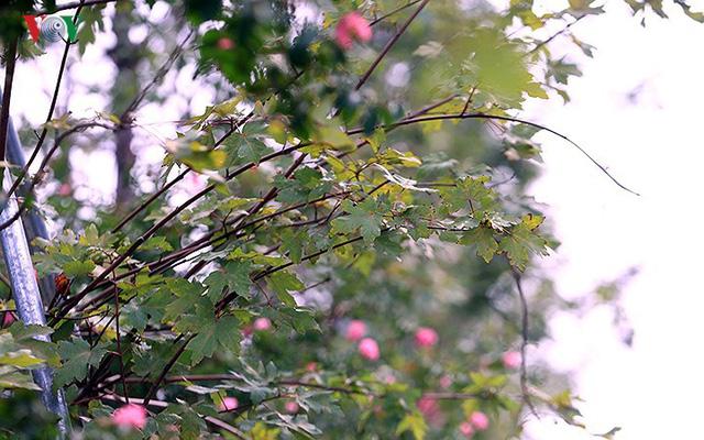 Những hàng cây Phong trên đường phố Hà Nội ngả màu khi Thu sang - Ảnh 11.