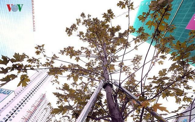 Những hàng cây Phong trên đường phố Hà Nội ngả màu khi Thu sang - Ảnh 10.