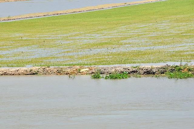 Vỡ đê bao ở An Giang khiến hơn trăm ha lúa chìm trong nước - Ảnh 5.