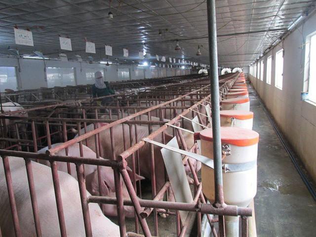 Trúng lớn nhờ cố duy trì đàn nái và lợn thương phẩm sau trận bão giá - Ảnh 1.