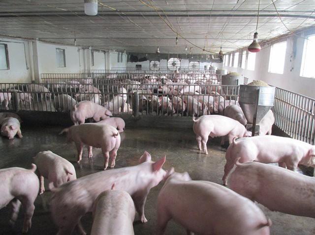 Trúng lớn nhờ cố duy trì đàn nái và lợn thương phẩm sau trận bão giá - Ảnh 2.