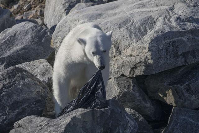 Trong vòng 1 tuần: Gấu trắng ăn nylon, rùa biển cực hiếm chết kẹt trong ghế sắt và những bức hình gây ám ảnh từ rác thải của con người - Ảnh 3.
