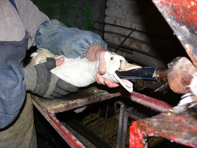 Foie gras - đỉnh cao văn hóa ẩm thực Pháp: Khi lằn ranh giữa món ăn xa hoa và nỗi thống khổ tột cùng của loài ngỗng bị xóa mờ - Ảnh 11.