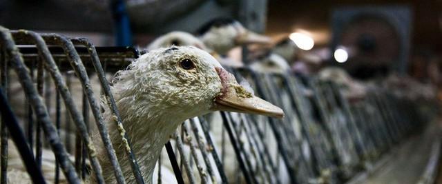 Foie gras - đỉnh cao văn hóa ẩm thực Pháp: Khi lằn ranh giữa món ăn xa hoa và nỗi thống khổ tột cùng của loài ngỗng bị xóa mờ - Ảnh 12.