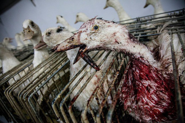 Foie gras - đỉnh cao văn hóa ẩm thực Pháp: Khi lằn ranh giữa món ăn xa hoa và nỗi thống khổ tột cùng của loài ngỗng bị xóa mờ - Ảnh 9.