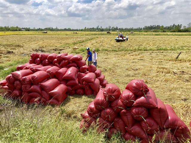 Vụ thu đông thất mùa, dự báo giá gạo có thể tăng - Ảnh 1.