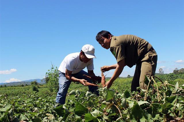 Công ty biến mất, hàng chục ngàn tấn khoai lang Nhật thối ngoài đồng - Ảnh 3.