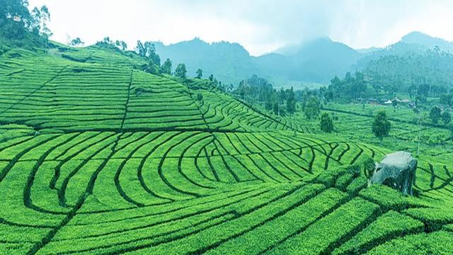 Dãy Himalaya hùng vĩ là quê hương của giống trà quý hiếm nhất của Ấn Độ: 50 triệu mới được 1kg - Ảnh 1.