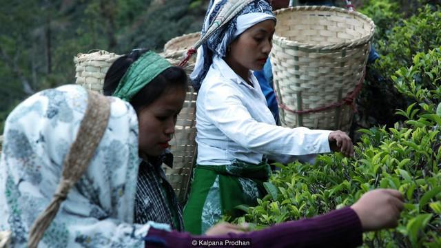 Dãy Himalaya hùng vĩ là quê hương của giống trà quý hiếm nhất của Ấn Độ: 50 triệu mới được 1kg - Ảnh 2.