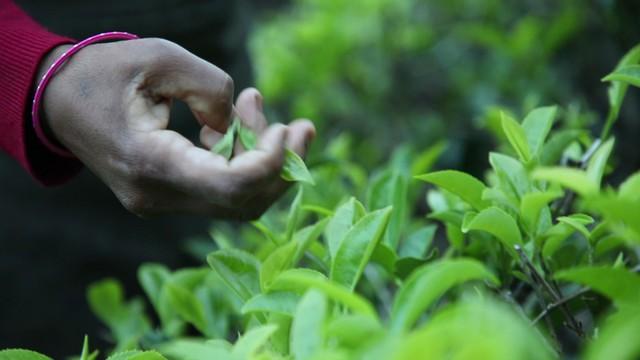 Dãy Himalaya hùng vĩ là quê hương của giống trà quý hiếm nhất của Ấn Độ: 50 triệu mới được 1kg - Ảnh 3.