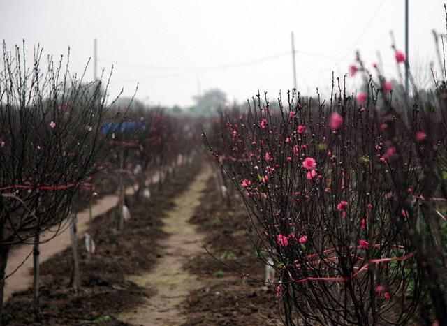 Nhiều ruộng đào tại Nhật Tân đón Tết Dương hụt nay mới bung hoa.